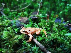 Petite grenouille sauvage