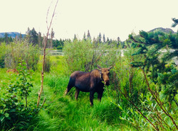 A Moose in the nature