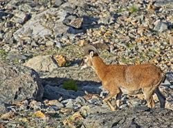 Mouflon de Belledonne